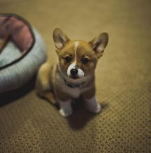 Ckc Pembroke Welsh Corgi Puppies Email at us [ fabianrecaldo@gmail.com ]