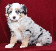 Healthy Australian Shepherd Puppies