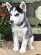 Healthy Siberian Husky Puppies