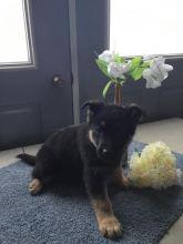 Home Raised German Shepherd Puppies
