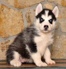 Home Raised Siberian Husky Puppies