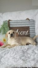 Labrador Retriever Puppies For Re-homing