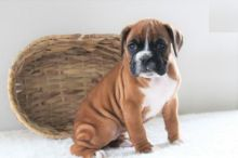 Male and Female Boxer Puppies