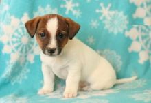 Male and Female Jack Russell Terrier Puppies