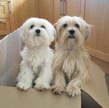 Quality Bred Family Rasied Maltese Pups