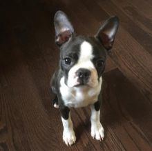 🐾💝🐾 Adorable 🐾💝🐾 Ckc Boston Terrier Puppies Available🐾💝