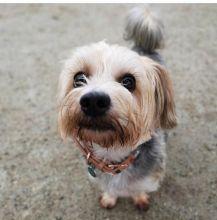 ☂️ ☂️ ☂️ Enchanting Teacup Yorkie Puppies For Adoption ☂️ ☂️ ☂️