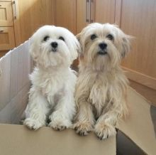 🐾💝🐾 Sensational 🐾💝🐾 Ckc Maltese Puppies Available🐾💝