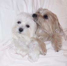 ☂️ ☂️ ☂️ Sensational Ckc Maltese Puppies Ready For Adoption ☂️ ☂️ ☂️