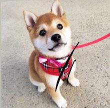 Astonishing Shiba Inu Puppies Now Ready for Adoption