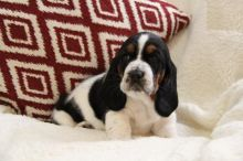 Basset Hound Puppies For Re-homing
