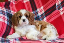 Cavalier King Charles Spaniel Puppies For Re-homing