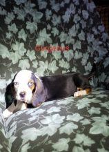 CKC Basset Hound Puppies