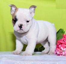 CKC English Bulldog Puppies
