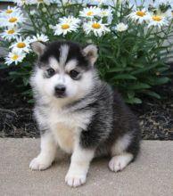 CKC Pomsky Puppies