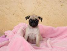 CKC Pug Puppies