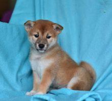 CKC Shiba Inu Puppies