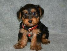 CKC Yorkie Puppies