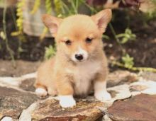 Corgi Puppies For Re-homing