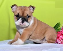 English Bulldog Puppies For Re-homing
