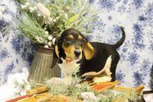 Healthy Basset Hound Puppies