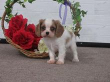 Healthy Cavalier King Charles Spaniel Puppies