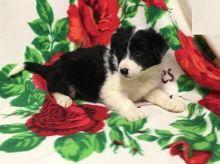 Home Raised Border Collie Puppies