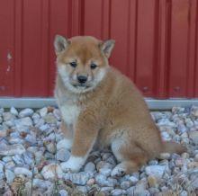 Home Raised Shiba Inu Puppies