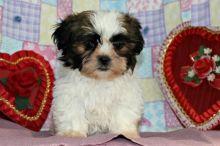 Home Raised Shih Tzu Puppies