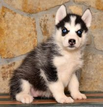 Home Raised Siberian Husky Puppies
