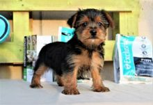 Home Raised Yorkie Puppies
