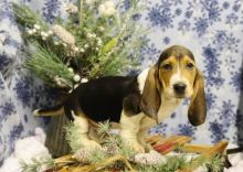 Male and Female Basset Hound Puppies