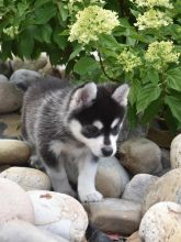 Male and Female Pomsky Puppies