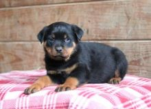 Male and Female Rottweiler Puppies