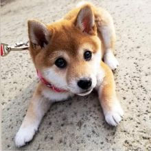 ☂️ Shiba Inu Puppies Now Ready CkcEmail at us ☂️ ☂️ [ spearskayla459@gmail.com] Image eClassifieds4U