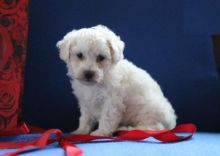 Bichon Frise Puppies For Re-homing
