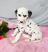 CKC Dalmatian Puppies