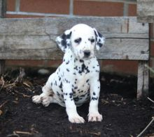 Dalmatian Puppies For Re-homing