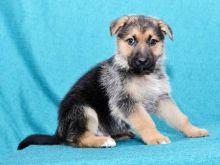 German Shepherd Puppies For Re-homing