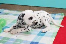 Healthy Dalmatian Puppies