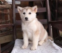 Home Raised Alaskan Malamute Puppies