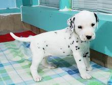 Home Raised Dalmatian Puppies
