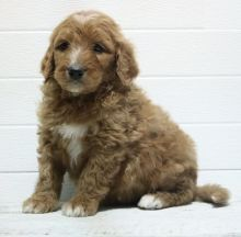 Home Raised Goldendoodle Puppies