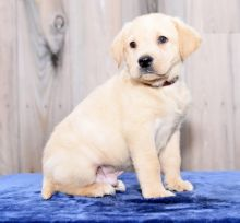 Home Raised Labrador Retriever Puppies