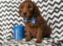 Male and Female Goldendoodle Puppies