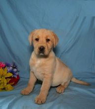 Male and Female Labrador Retriever Puppies