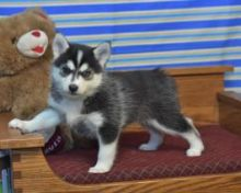 12 Weeks Old Pomsky Puppies Available