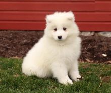 12 Weeks Old Samoyed Puppies Available