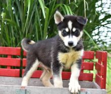 12 Weeks Old Siberian Husky Puppies Available