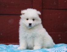 Amazing Samoyed Puppies